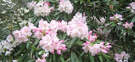 愛媛県大洲市の石楠花