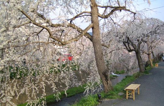 愛媛県内子町の川沿いの桜